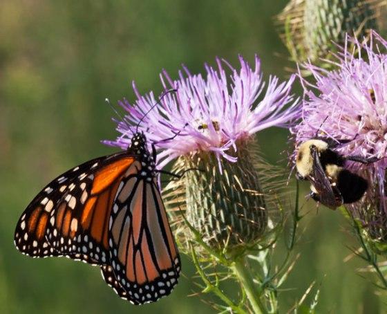 Butterfly_bee_3821