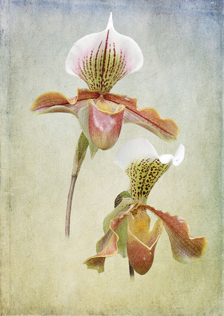 Phragmipedium_4