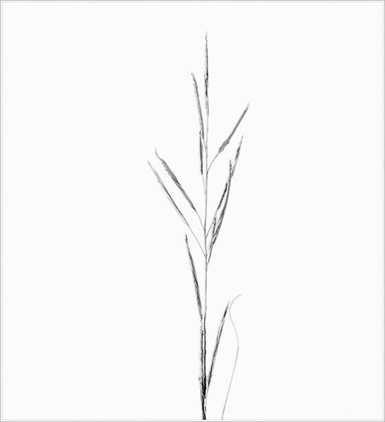 saltmeadow_cordgrass_1819_s-Edit