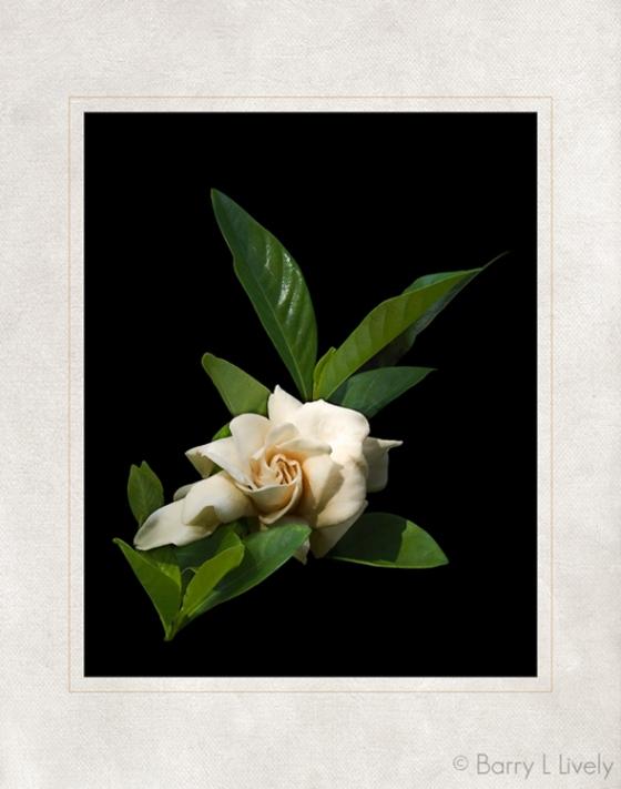 17_Camellia_01b-Edit