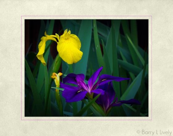 Iris-7096-Edit-Edit-copy