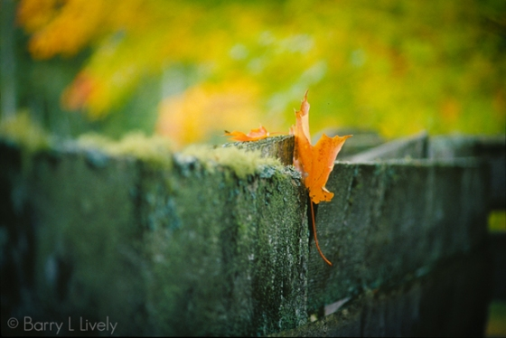 Leaf-on-fence-(another-copy)