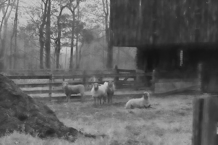 Sheep in black and white