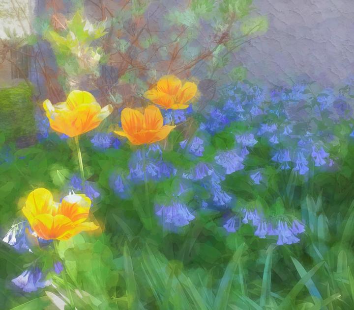 Tulips and Virginiabluebells