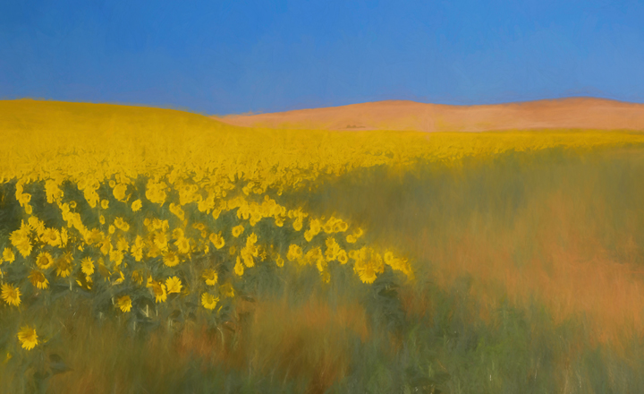 A field ofsunflowers
