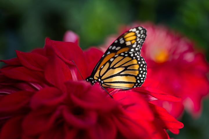 Butterfly, dahlia
