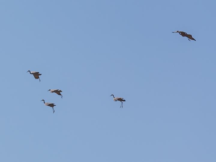 Sandhill cranes – Order andconfusion